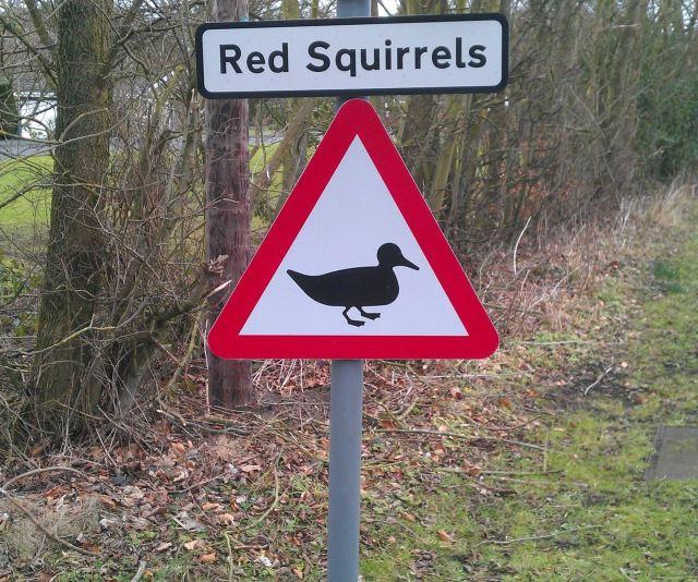 Attention aux écureuils rouges